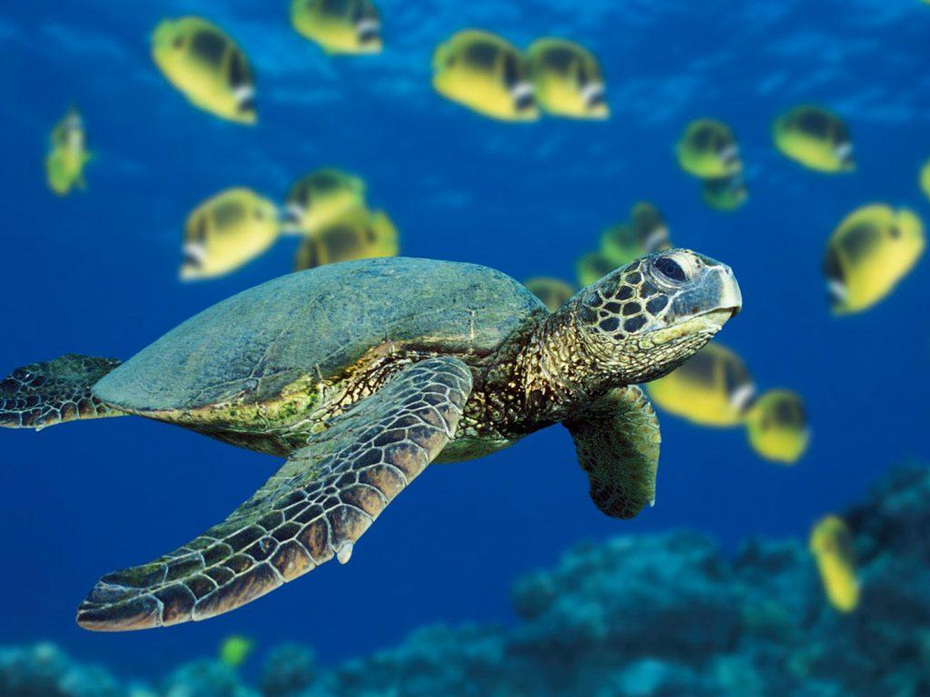 islatortugadivers.com-isla-tortuga-divers-koh-tao-blog-vida-marina