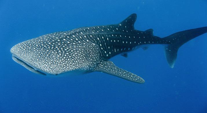 isla-tortuga-koh-tao-tiburon-ballena-blog