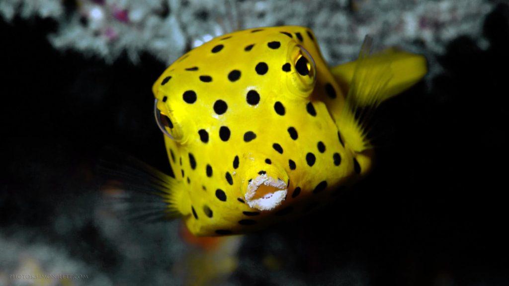 islatortugadivers.com-isla-tortuga-divers-koh-tao-juvenile-box-fish-yellow