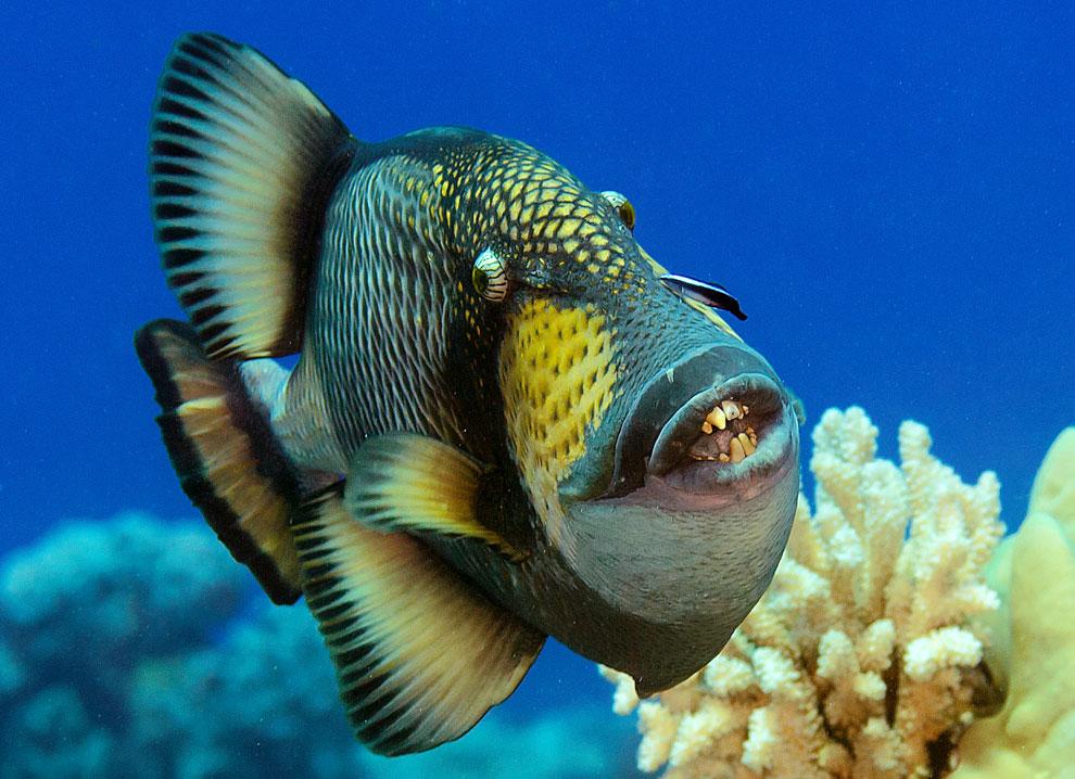 islatortugadivers.com-isla-tortuga-divers-koh-tao-titan-triggerfish