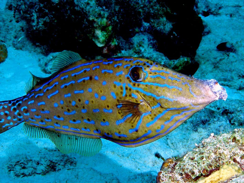 www.islatortugadivers.com-isla-tortuga-divers-koh-tao-Scribbled-Filefish