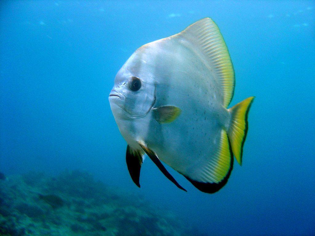 islatortugadivers.com-isla-tortuga-divers-koh-tao-batfish