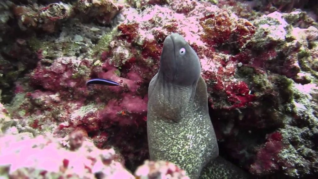 www.islatortugadivers.com-isla-tortuga-divers-koh-tao-eyed-white-morray-eel