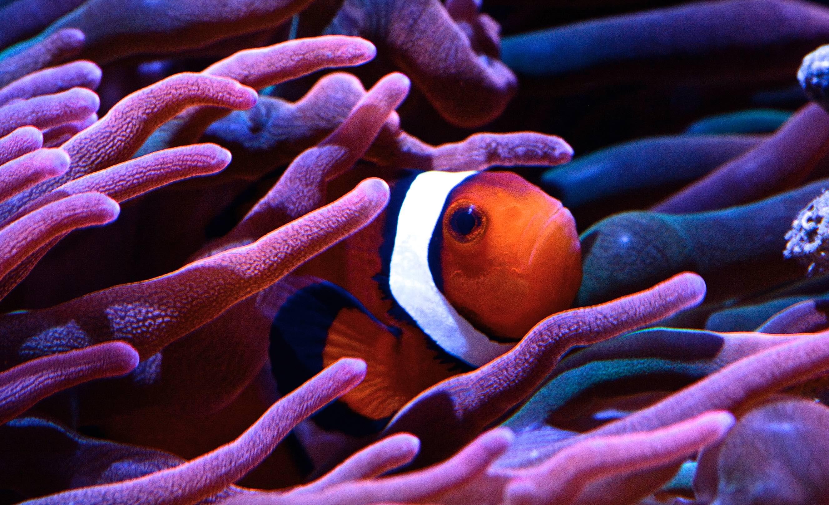 islatortugadivers.com cursos de buceo clownfish