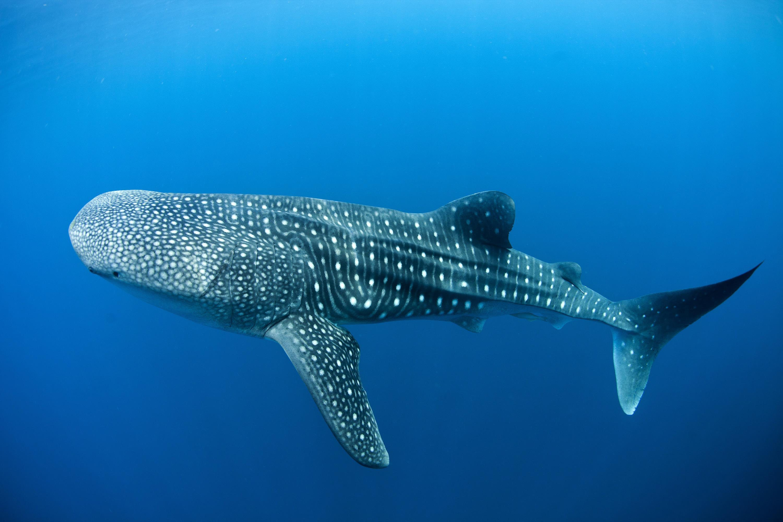 islatortugadivers.com cursos de buceo whaleshark