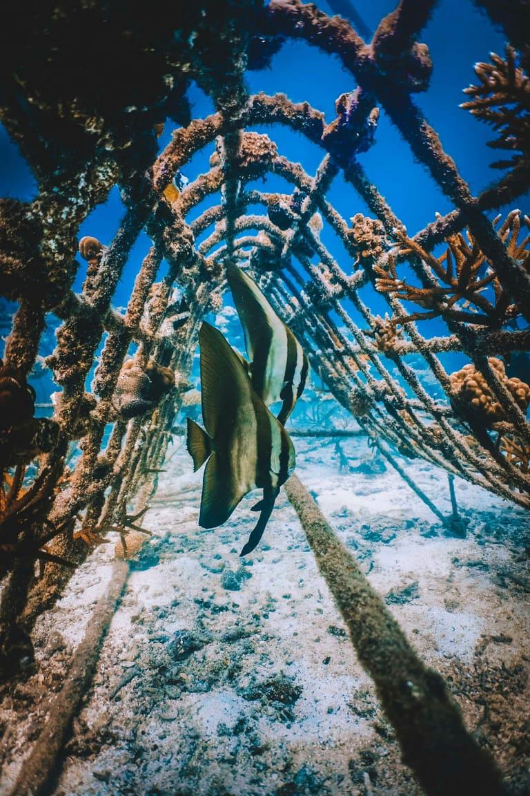 islatortugadivers.com koh tao marcando la diferencia batfish